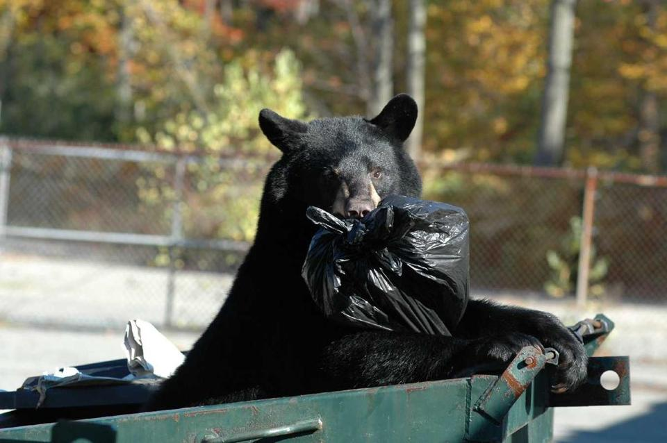 A bear enjoying its favorite treat: unsecured garbage.