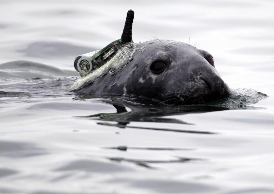Researchers hope to tag nine gray seals and learn where they go. The batteries should last seven to nine months.
