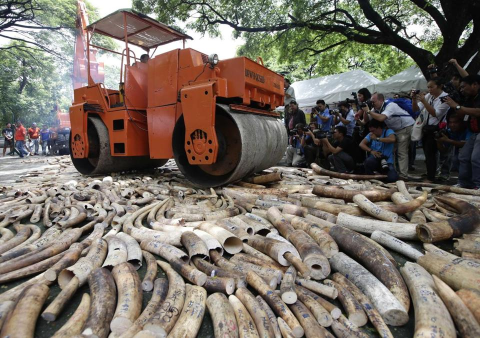 Smuggled elephant tusks worth $10 million were crushed and then burned in the Philippines on Friday.