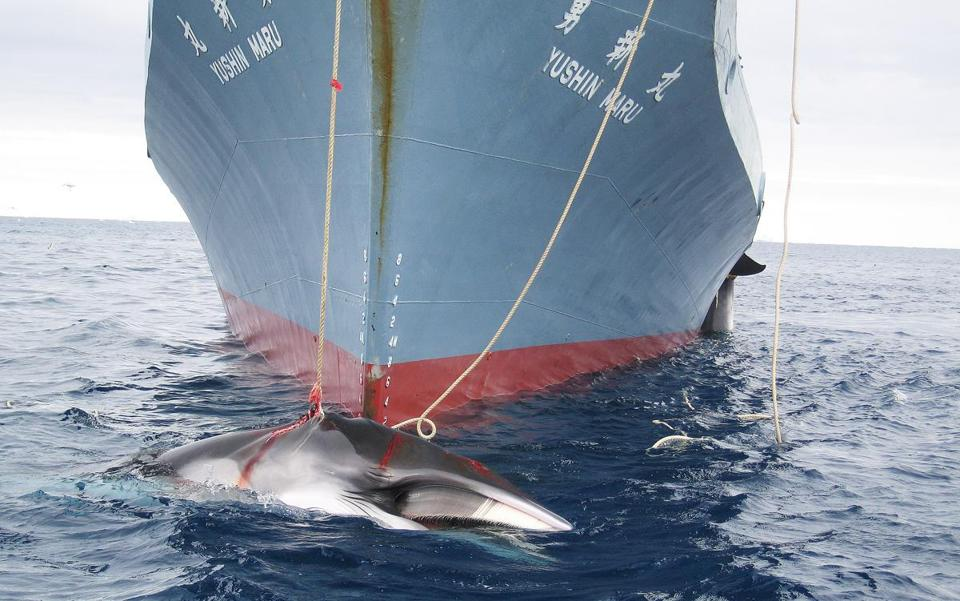 A Japanese ship dragged a whale that was harpooned in Antarctic waters. Japan says the hunt is legal.