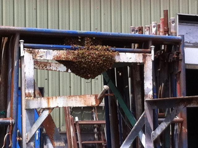 A swarm of bees massed on a piece of scaffolding at Marine Railways shipyard in Gloucester on Friday.