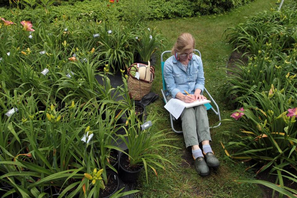 Botanical artist Ellen Bertovich sits among the lush daylily beds at Janet and Stephen Tooker's garden in Scituate to sketch the flowers.