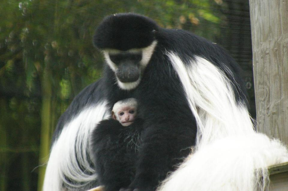 A baby colobus monkey got some TLC at the Stone Zoo.