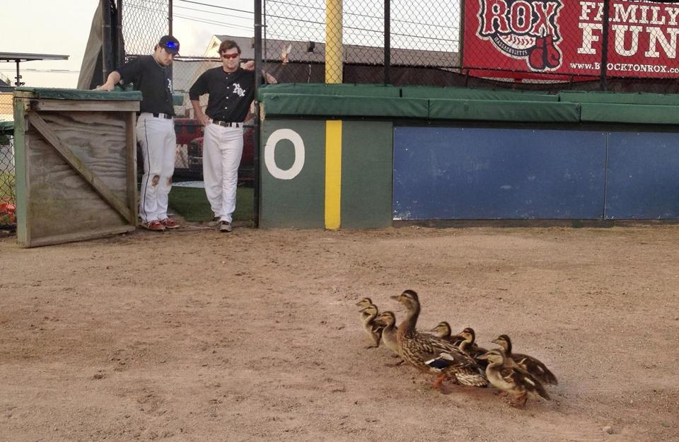 Brockton Rox DJ Roche (left) and Cole Barlow hold the bullpen door open for ducks who stopped play.