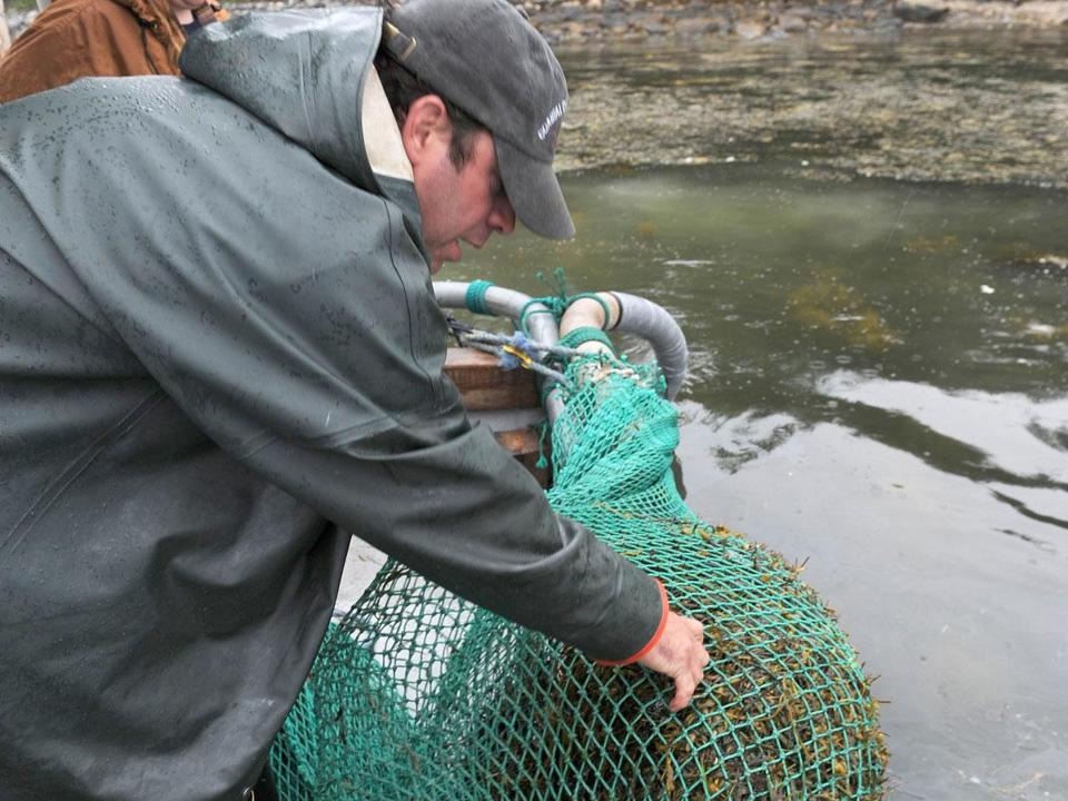 Doug Wood inspected a bag of rockweed he harvested off the Maine coast in early July.