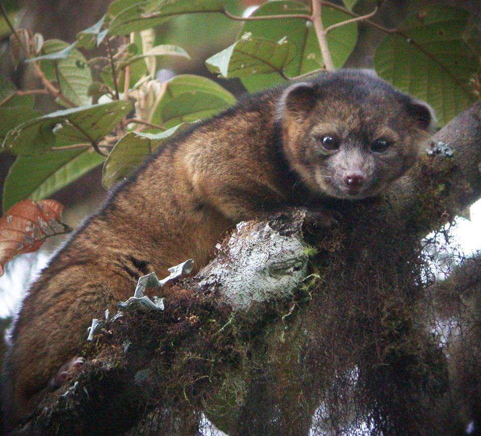 The olinguito, a carnivore and member of the raccoon family, was mistakenly identified for more than 100 years before researchers announced the new species on Thursday.