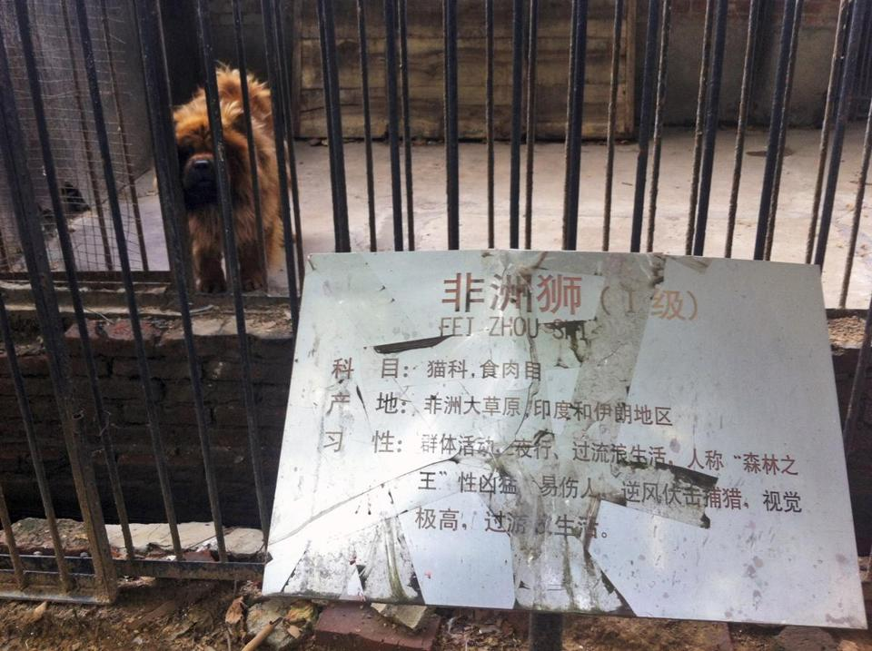 "The sign on the cage holding the dog reads ""African lion."""