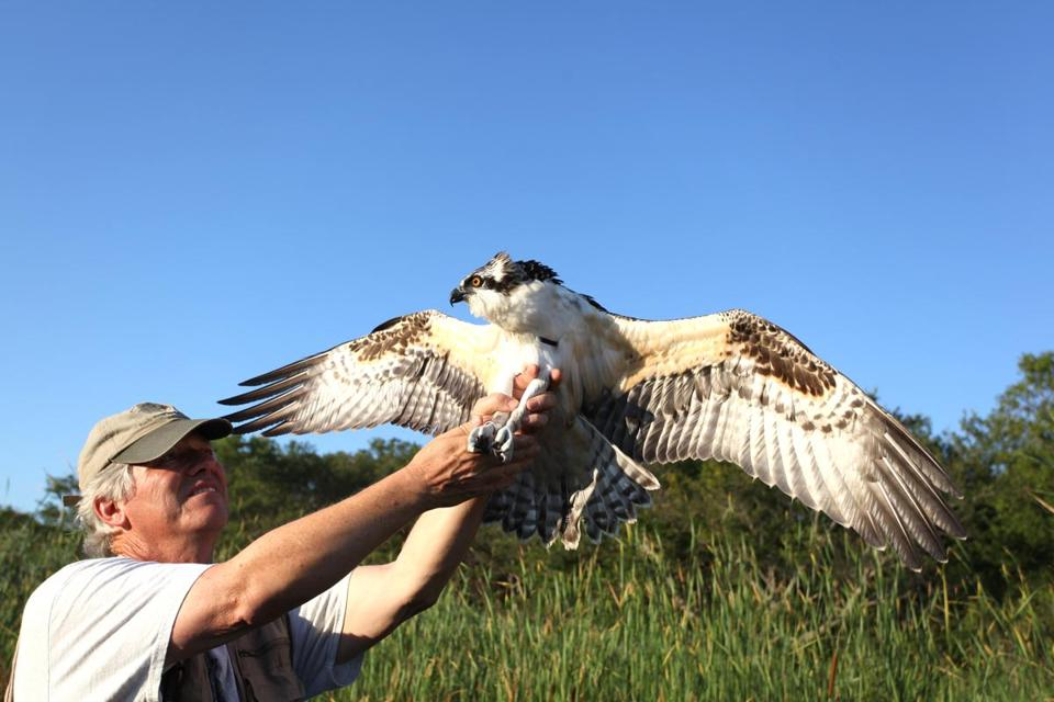 Rob Bierregaard prepares to release a banded juvenile male osprey last month.