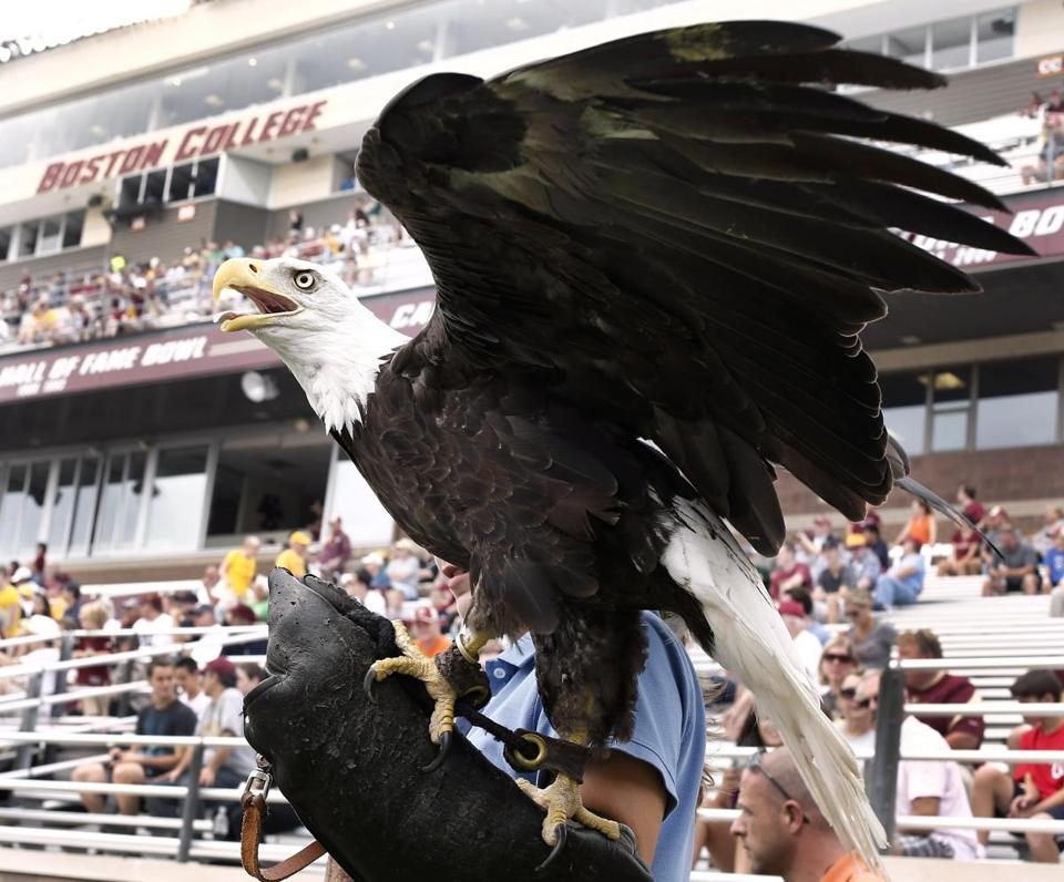 Professional handlers control BC's bald eagle mascot during appearances at Alumni Stadium.