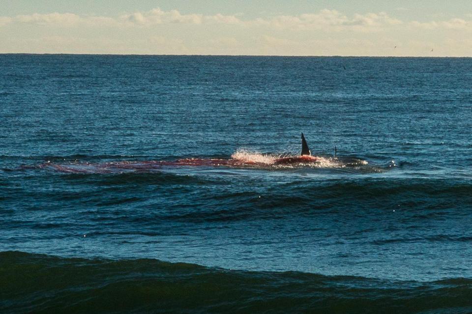 Shark Eating Seal Drawing a Shark Eating a Seal Was