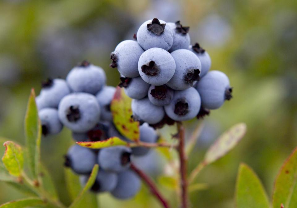 Maine and Eastern Canada are the only places that grow wild blueberries for commercial sale.