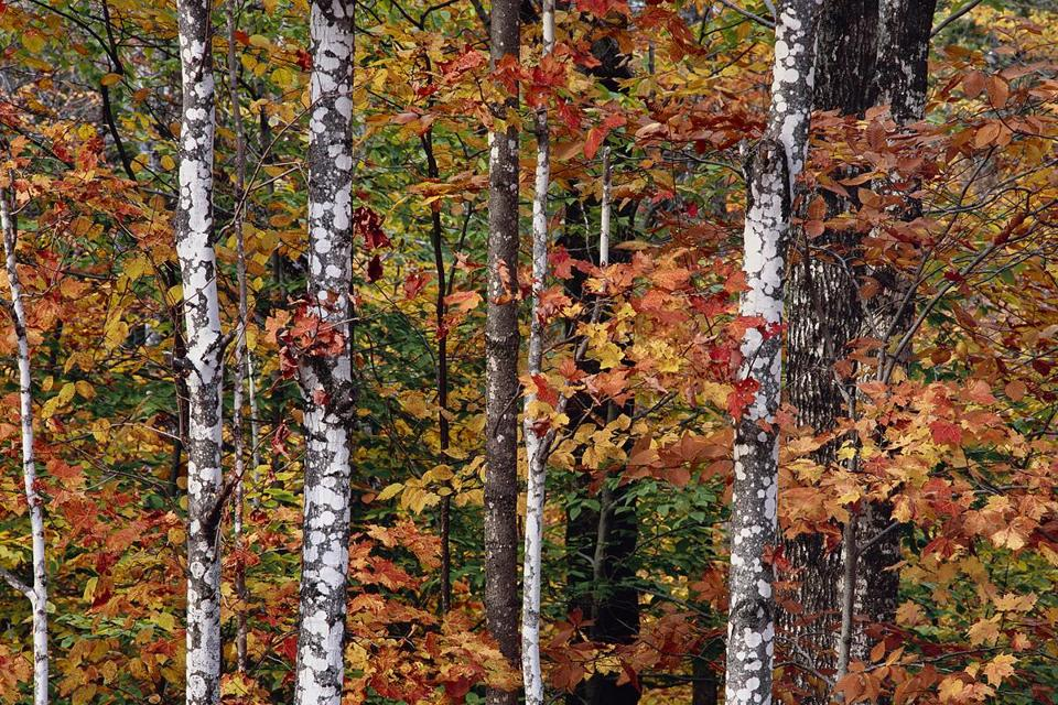 """Birch, East Branch of the Penobscot."""