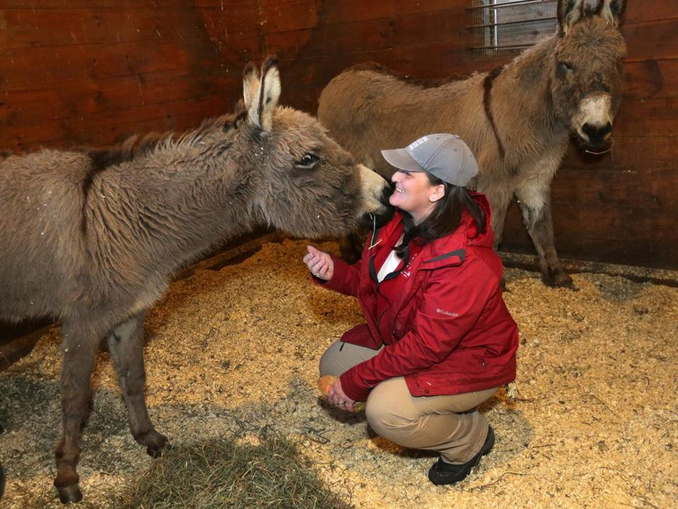 Ashley Harkins, shelter supervisor at the Animal Rescue League's Dedham facility, with donkeys seized from a Ludlow farm. Many of the animals also had dental problems.