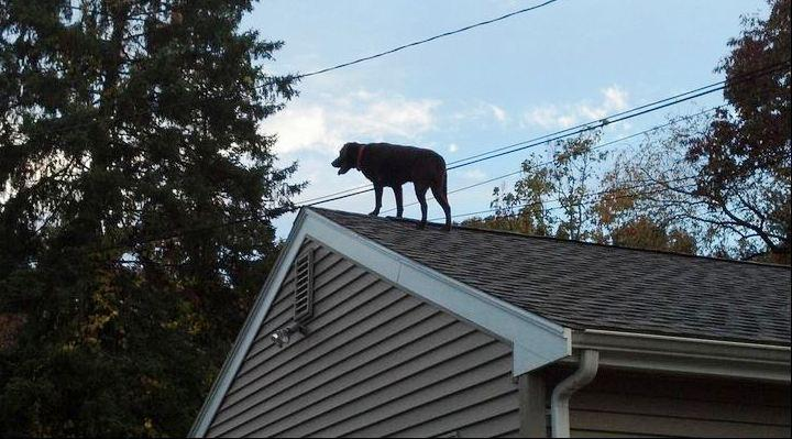 Burlington police tweeted this photo of a dog stuck on a roof  and it quickly went viral.