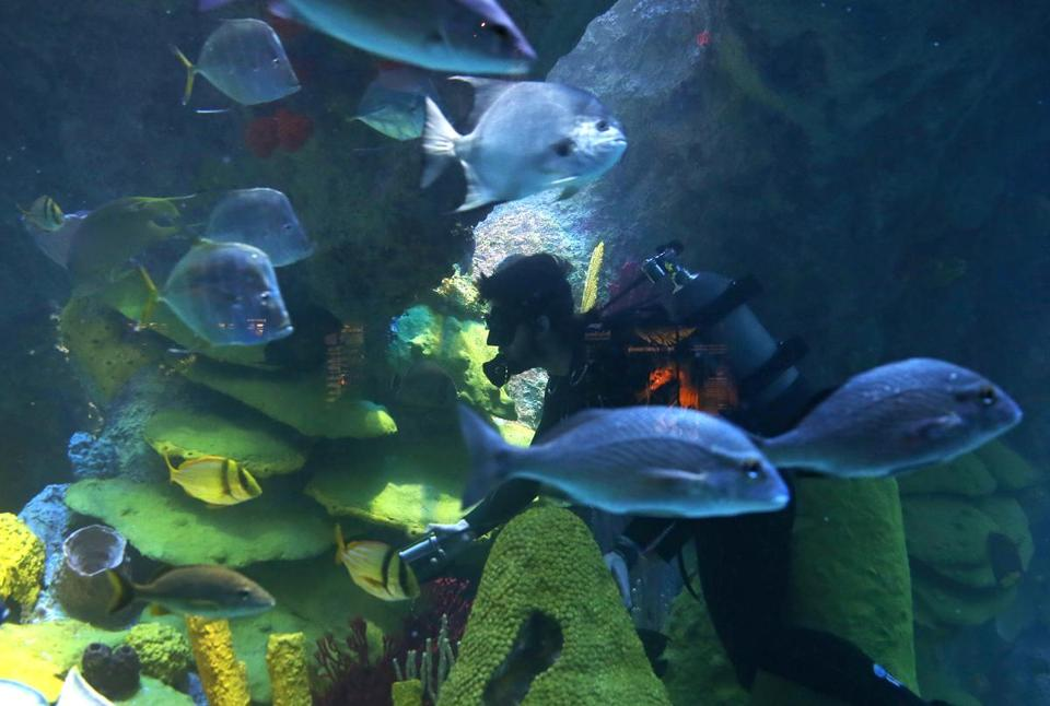 In the months since the renovation of the Great Ocean Tank was completed, the New England Aquarium has seen a mating boom.