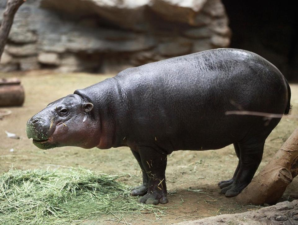 Inocencio, a 2-year-old male pygmy hippo, made his public debut in the Tropical Forest at Franklin Park Zoo.