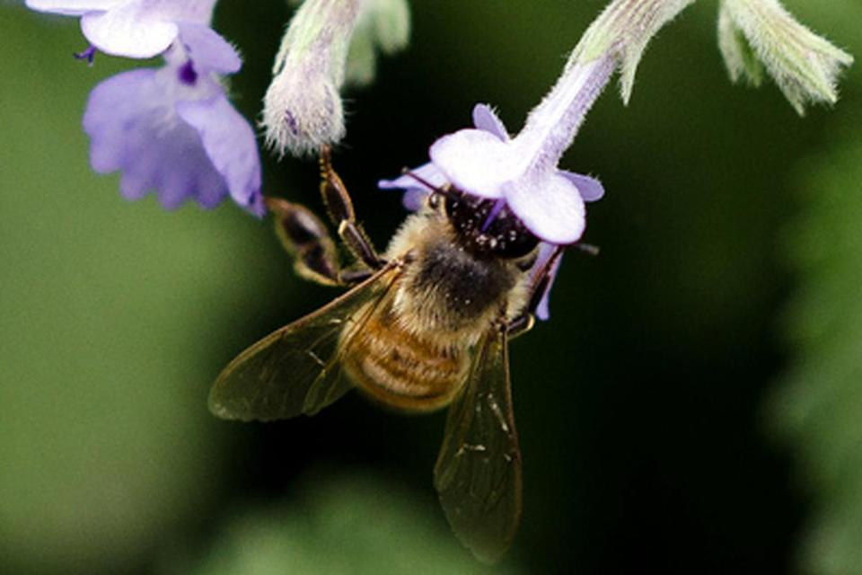 Commercial honeybees pollinate an estimated $15 billion worth of produce each year.