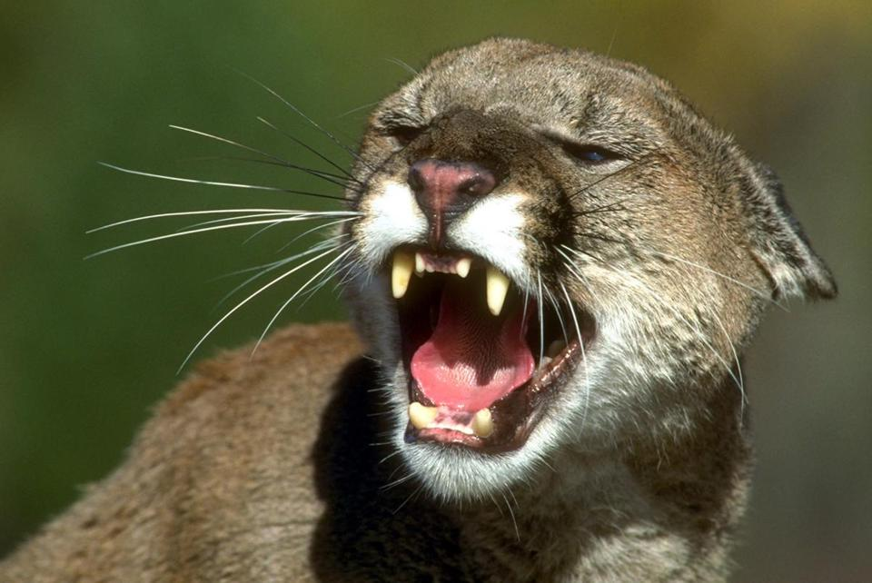 An archive photo of a mountain lion.