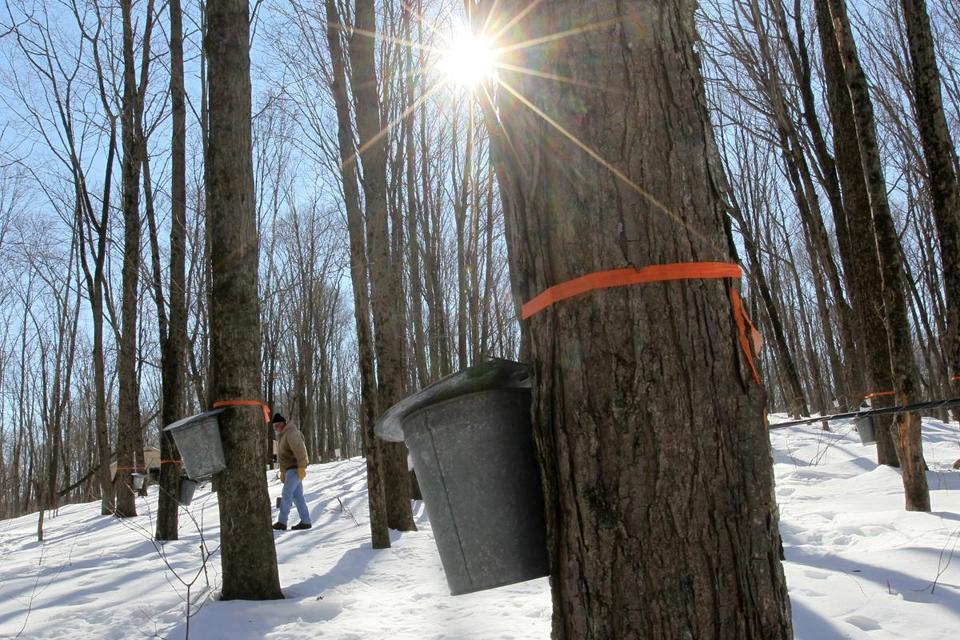 Ron Wenzel inspected 400 buckets on trees that produce thousands of gallons of maple sap in Hebron, Conn.