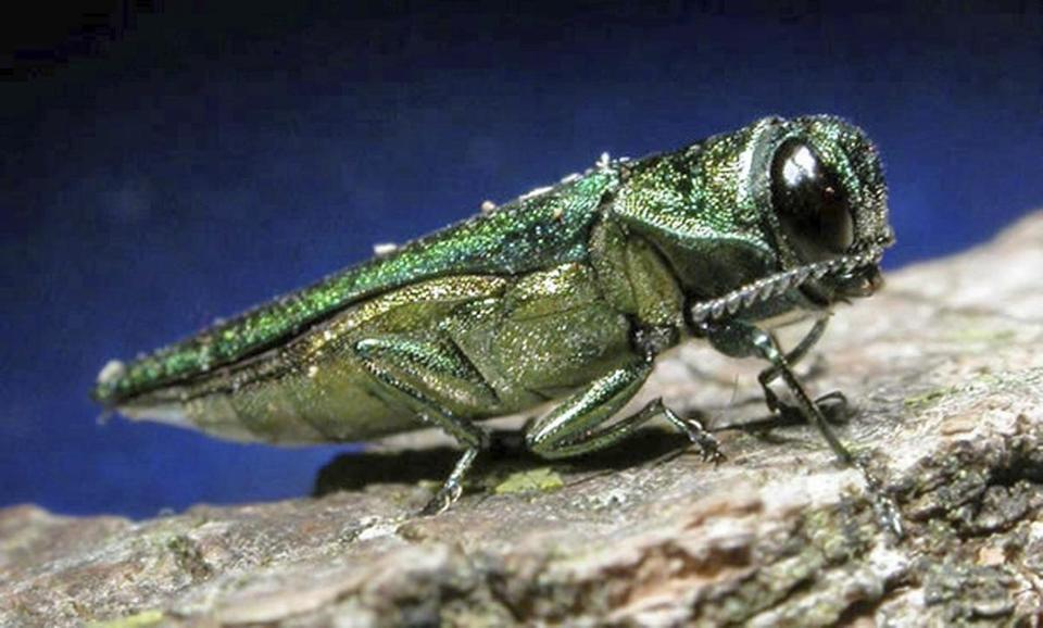 An adult emerald ash borer found in Minnesota, where cold temperatures have frozen many of the invasive bugs.