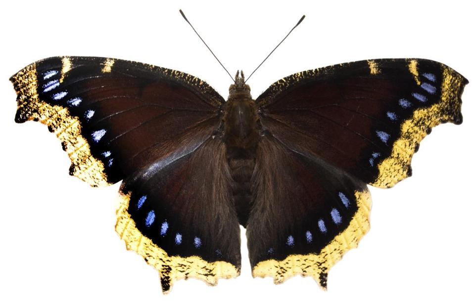 Mourning Cloak butterfly. Istock Photo