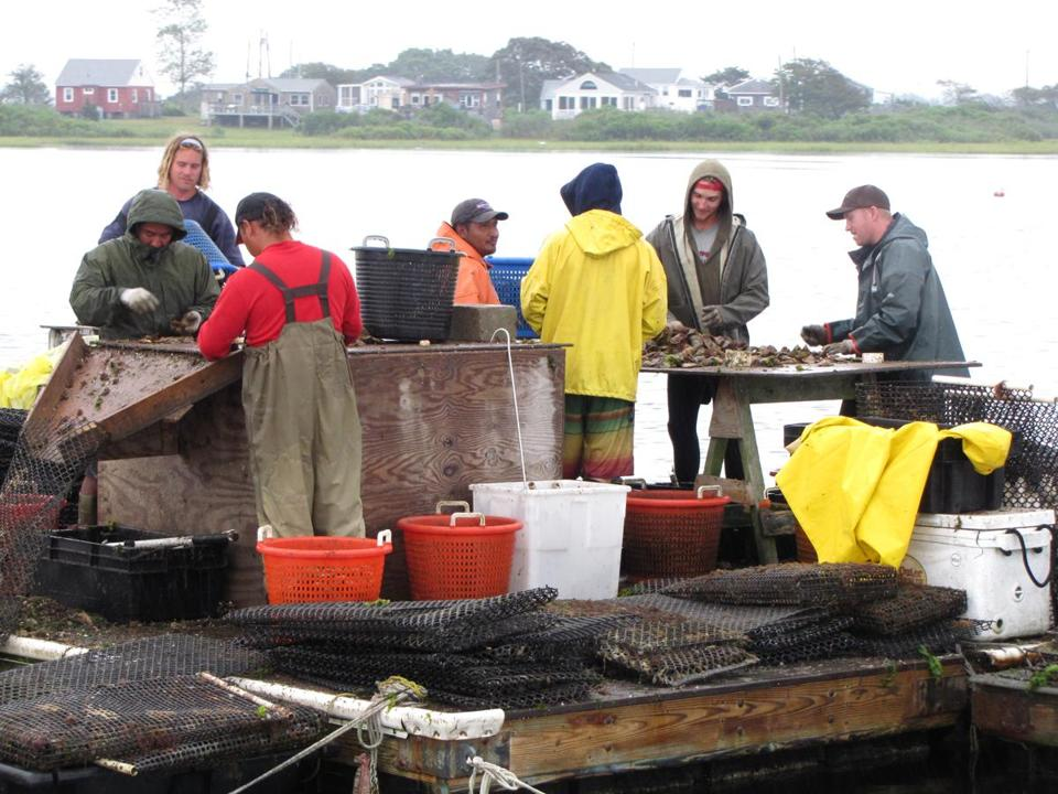On a pontoon in Potter Pond in South Kingstown, harvesters sort Matunuck oysters.