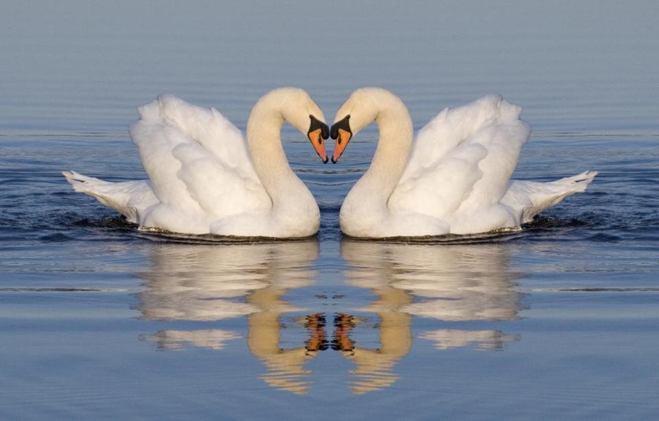 should we eat swans the boston globe