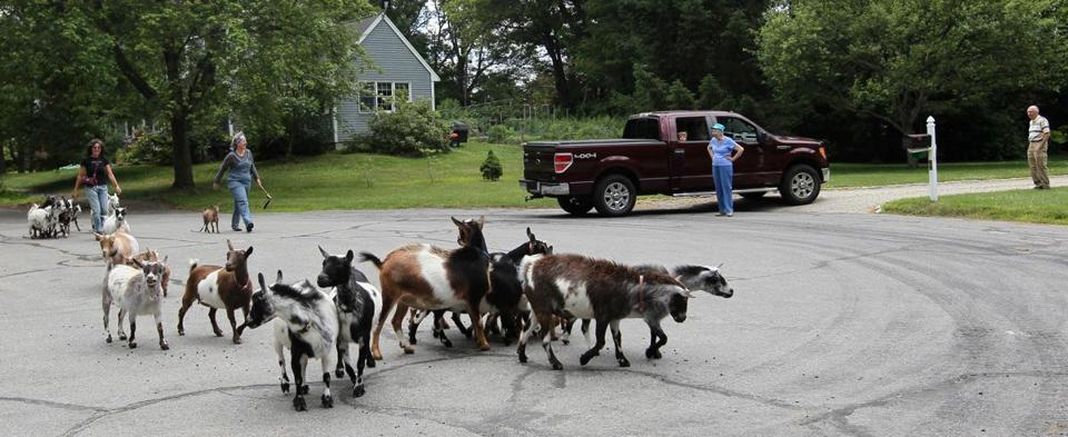 Halé and Melissa Hoffer go for a goat walk together to The Great Meadows in Concord. Hoffer's herd began from Hale's goats.