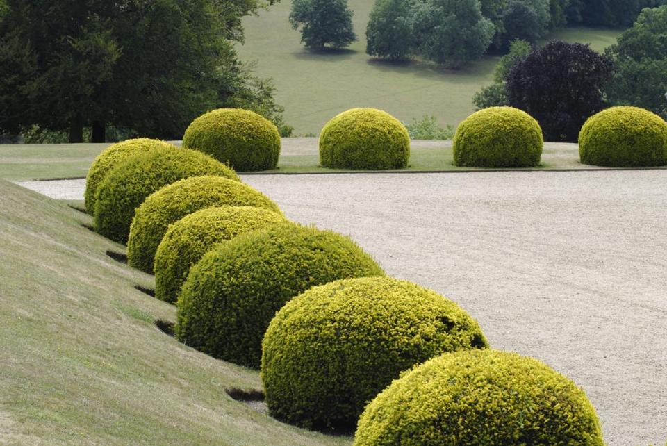 Careful Pruning Can Ensure That Yew Bushes Keep Looking Verdant