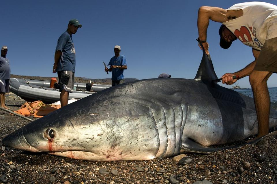 Shark Finning Should Be Stopped
