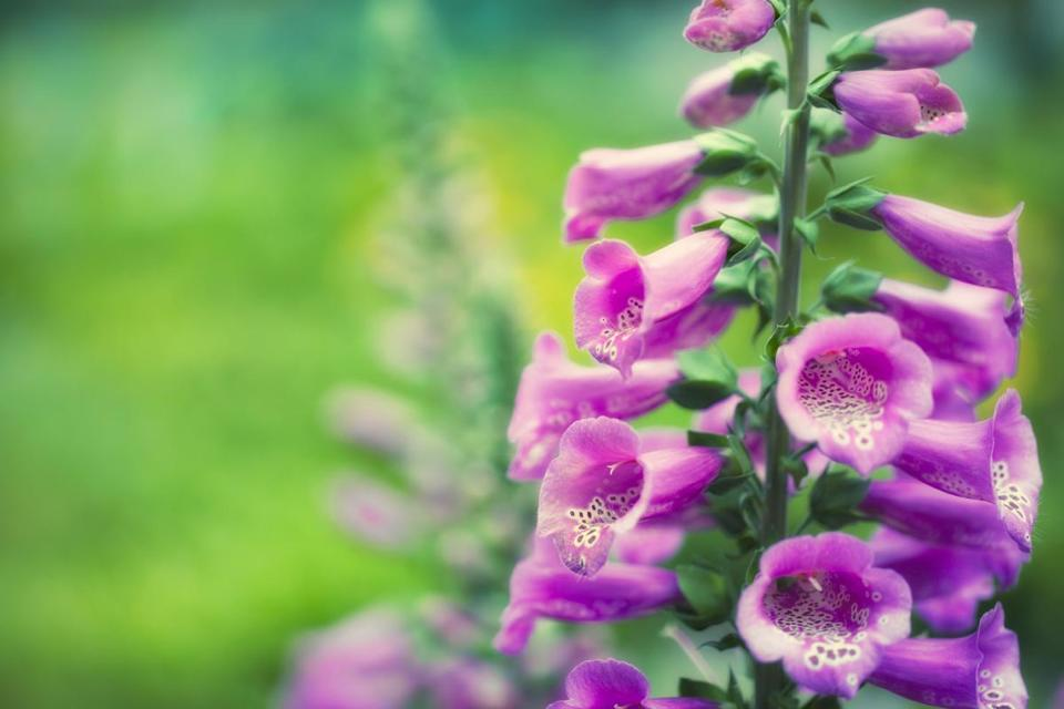 Let biennials like foxglove go to seed. They won't rebloom if you deadhead them — those seeds will produce offspring next year.