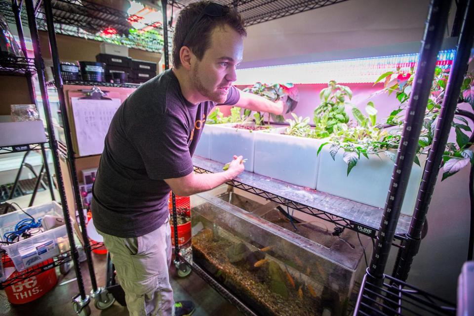 Aquaponics engineer Tim Day of Grove Labs works with plants that use fish waste as fertilizer at Greentown Labs.