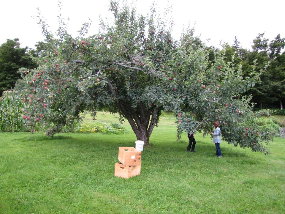 You can pick your own apples and sample cider at Bear Swamp Orchard & Cidery in Ashfield.