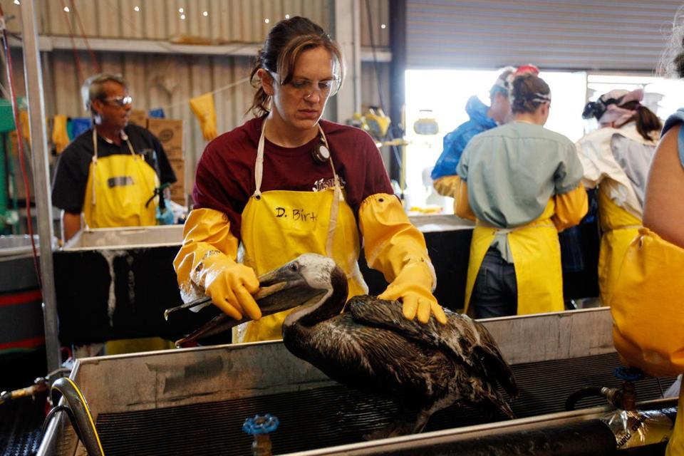 Pelicans were cleaned at a wildlife center in Louisiana after the April 2010 explosion of the Deepwater Horizon oil rig in the Gulf of Mexico.
