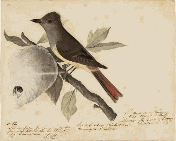 John James Drawings How John James Audubon