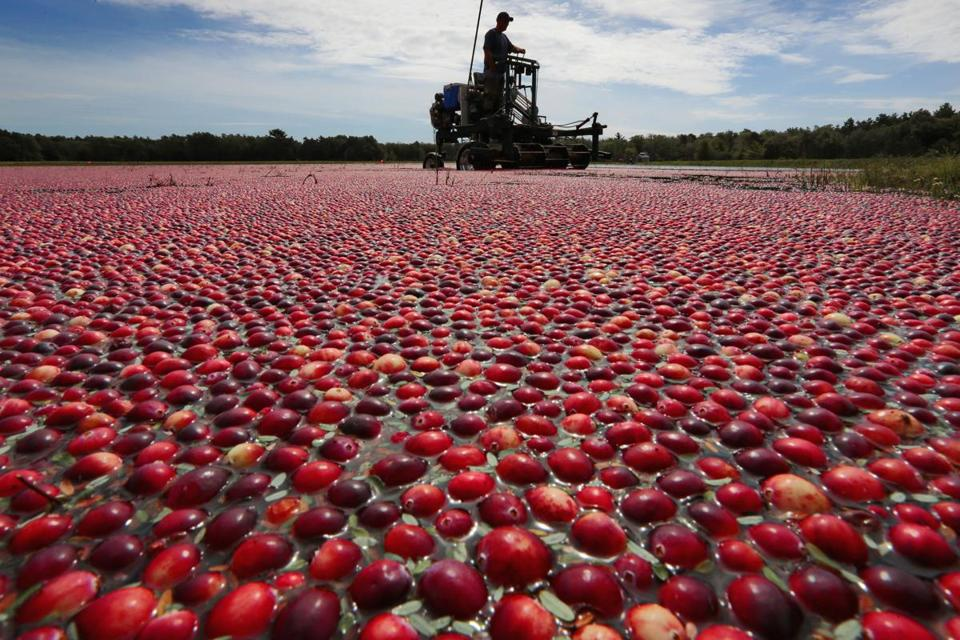 Cranberries at this bog were slated for use in Ocean Spray juice.
