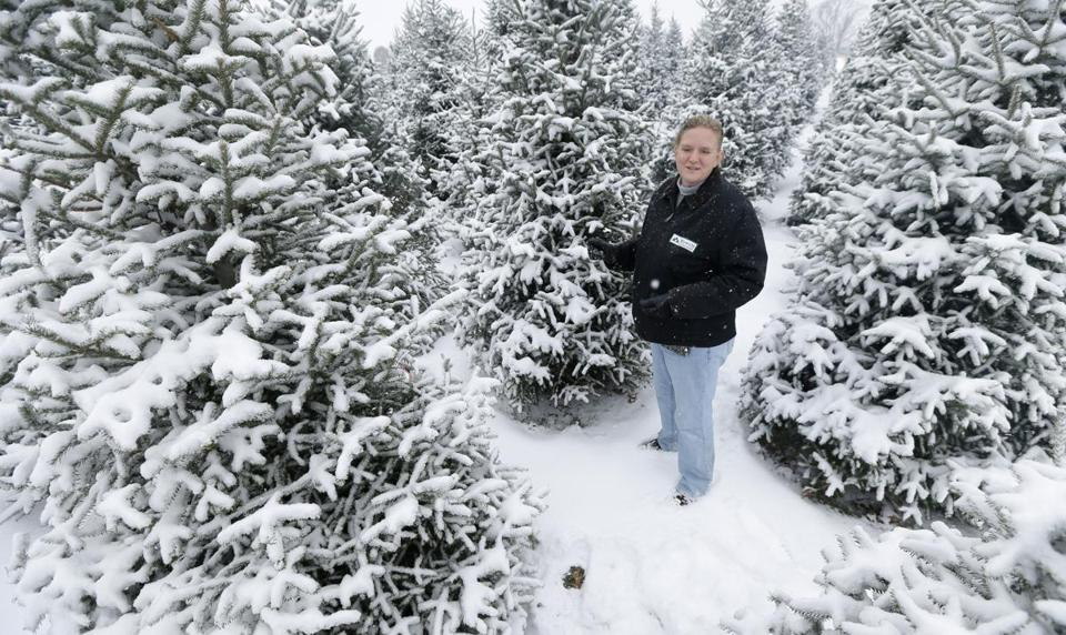 Higher Christmas tree prices likely this year - The Boston ...