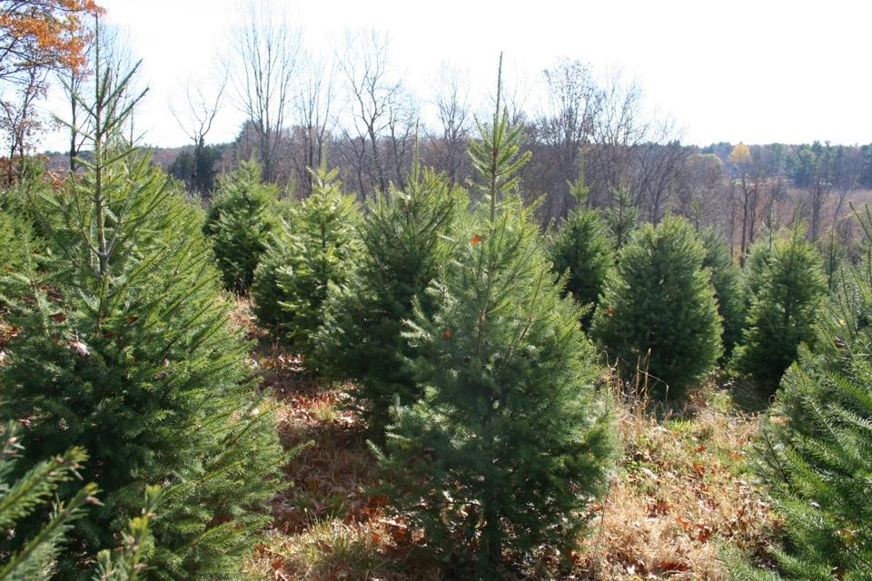 Christmas Tree Farms: Where To Go To Cut Your Own