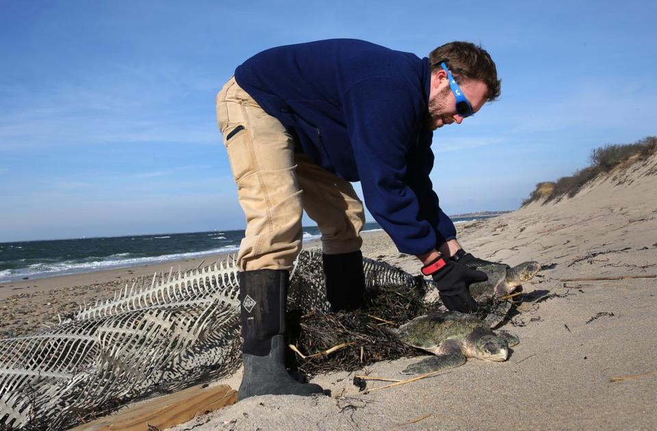 Michael Sprague, coordinator of Mass Audubon's turtle rescue program, with two Kemp's ridleys.