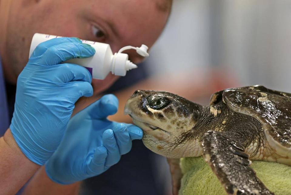 Skip Graf of Mystic Aquarium tended to a rescued, ailing Kemp's ridley sea turtle at the New England Aquarium's marine rehabilitation facility in Quincy.