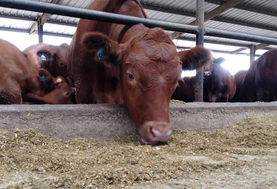 FILE - In this Oct. 15, 2013 file photo, a cow eats in a feedlot at Suwannee Farms in O'Brien, Fla. Dietary guidelines released by the government every five years lay out recommendations for healthy eating. Next year's version may look at what is healthy for the environment, too. The idea of looking at how food is grown _ not just how it is eaten _ has already provoked outrage from the agriculture and food industries and even Congress. They say an environmental agenda doesn't belong in what has always been practical guidelines for a healthful lifestyle. (AP Photo/, File)
