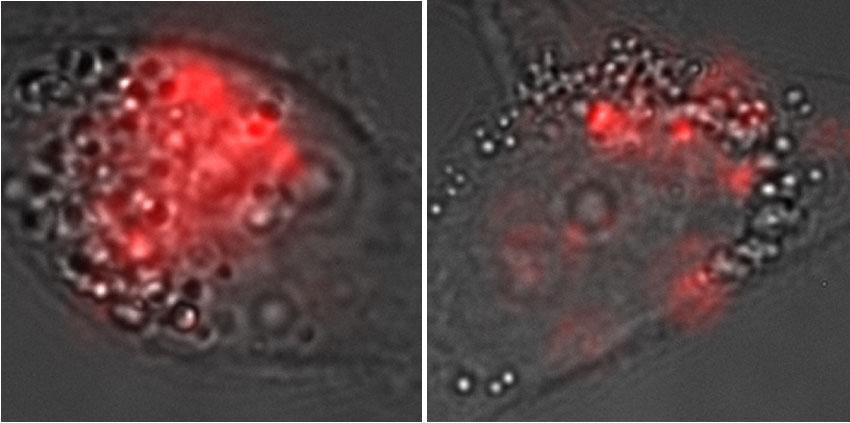 Microscopic images show the presence of carbon nanotubules in a cell run through the CellSqueeze platform (left) compared to a cell that absorbed them without squeezing.
