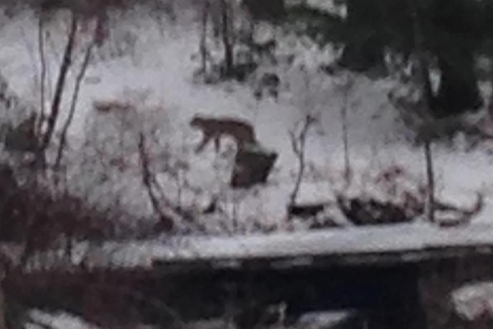 "A resident on Pine Street took a picture of what ""certainly seems like a mountain lion,"" an official said."