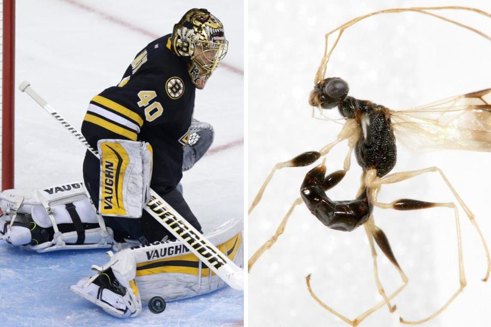 A newly discovered wasp species from East Africa now bears the designation Thaumatodryinus tuukkaraski, a tribute to star Bruins goalie Tuukka Rask.