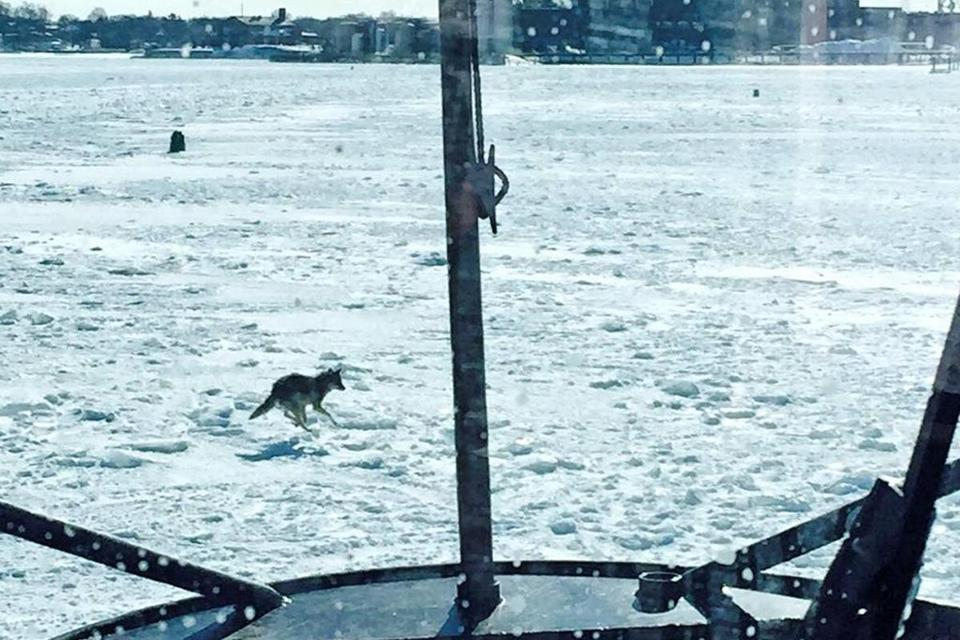 Coast Guard crew members spotted a coyote on the frozen water.