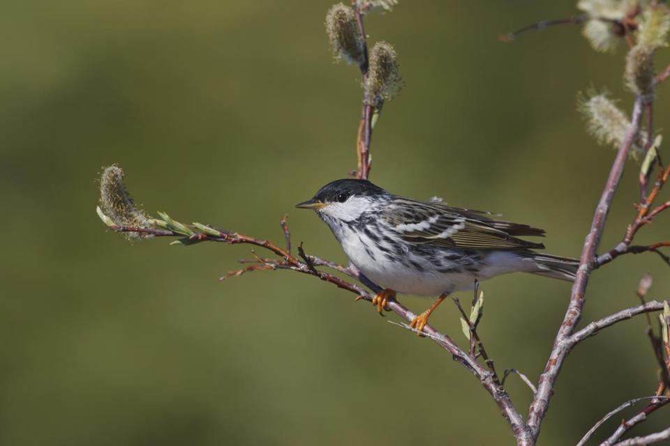 A breeding male blackpoll warbler.