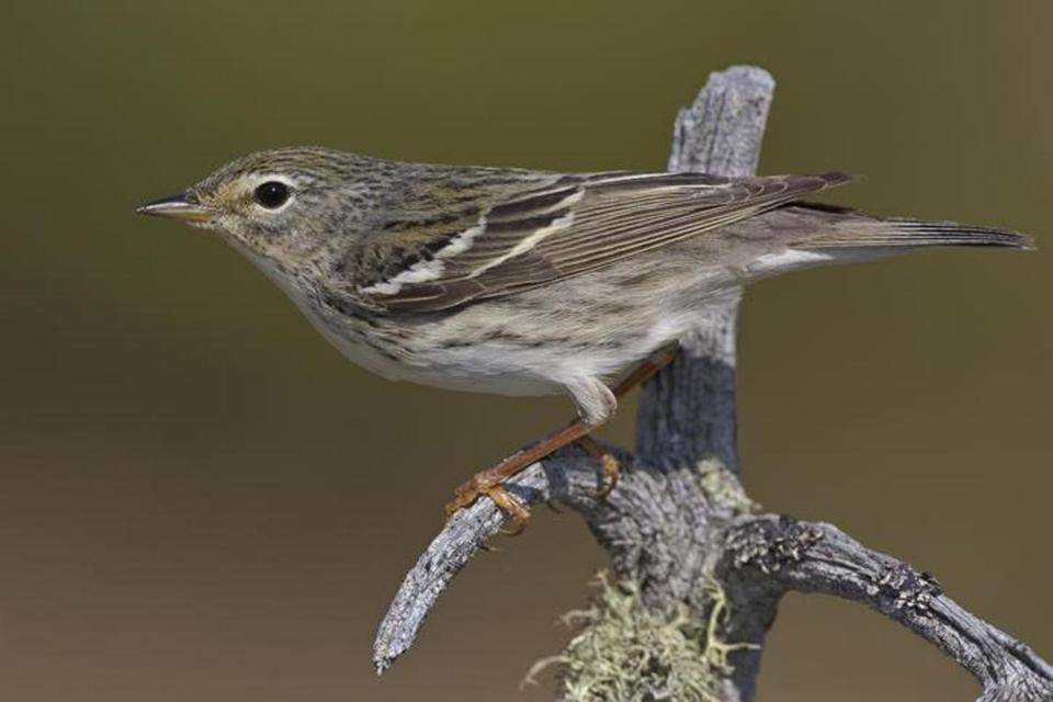 A breeding female blackpoll warbler. In the fall, the birds undertake a marathon migration over the ocean.