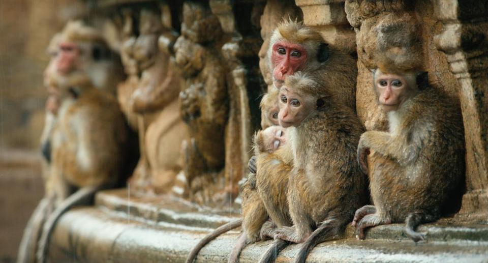 "Sri Lankan toque macaques in Disneynature's ""Monkey Kingdom."""