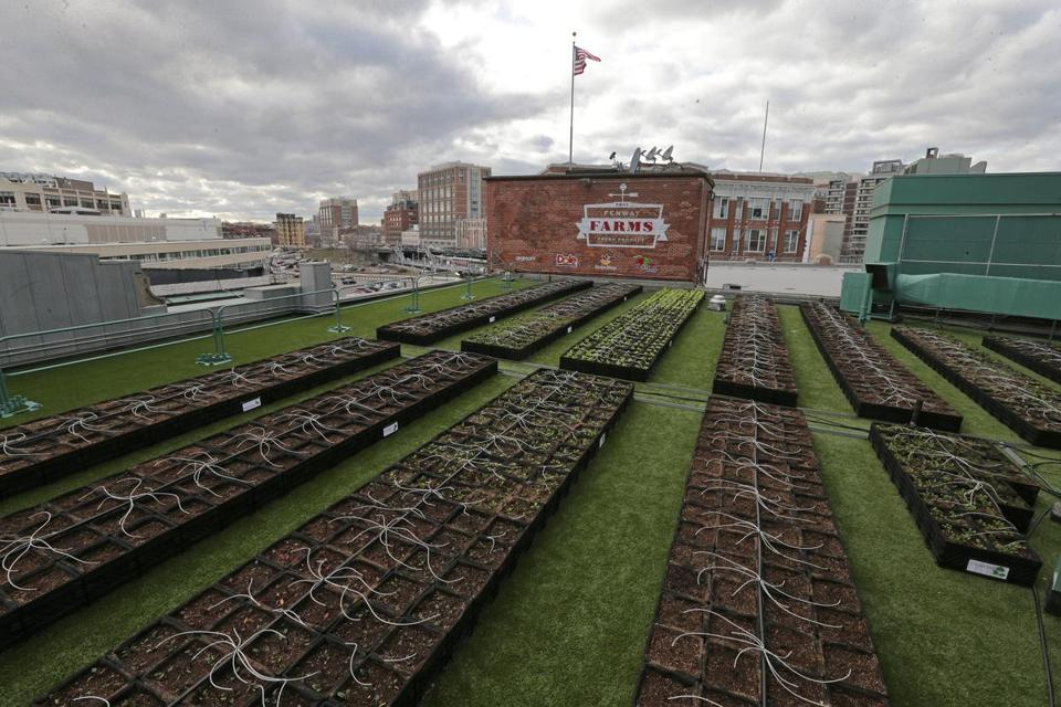 Yet more green at Fenway Park this time on the roof The
