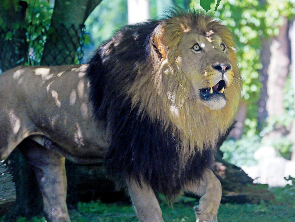 Dinari (pictured) is one of the two new lions at Franklin Park Zoo.